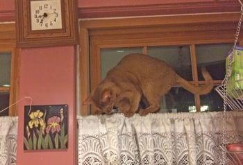 Izzie-on-curtain-rod